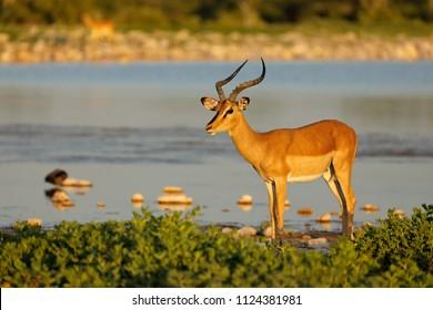 An impala antelope (Aepyceros melampus) at a waterhole, Etosha National Park, Namibia