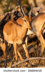 Impala Antelope in Chobe National Park, Botswana, Africa