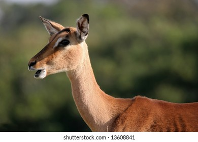 An Impala antelope ewe from African with it's mouth open