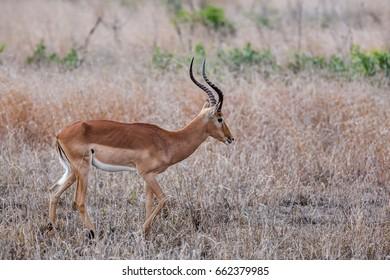 Impala antelope, Kruger National Park, South Africa