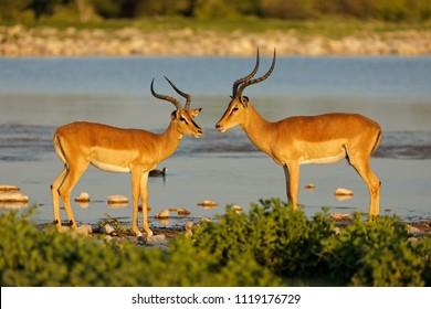 Impala antelopes (Aepyceros melampus) at a waterhole, Etosha National Park, Namibia