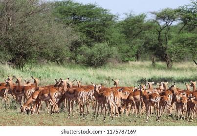 Impala Antelopes Grazing, in the Tarangire  National Park, Tanzania