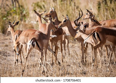 Impala Antelopes in the Kruger National Park, South Africa