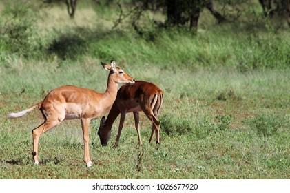 Impala antelopes, Tarangire National Park, Tanzania
