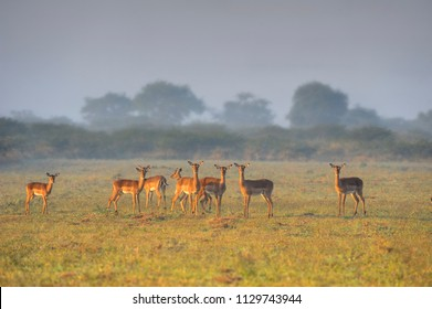 IMPALA (Apyceros melampus). Caught in the rays of a rising sun