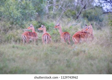 IMPALA (Apyceros melampus) startled in thick ungergrowth. kwazulu natal, South Africa