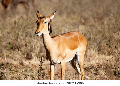 impala with a bird twittering in the ear