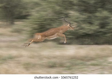 Impala In A Blur  - An impala ram makes a quick escape by leaping 25 feet in a blur. Ndutu, Arusha, Ngorongoro Conservation Area, Tanzania, Africe.