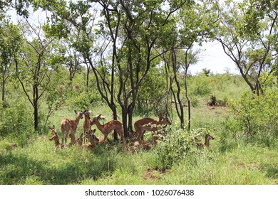 Impala buck in their natural habitat, protecting their calves against predators while resting