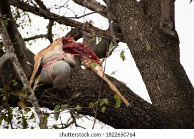 Impala carcass with unborn baby hanging from tree