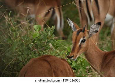 An impala cautiously watching while the herd eat