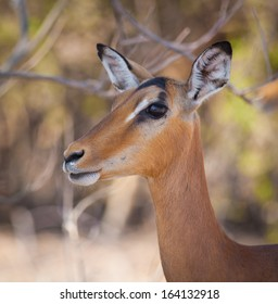 Impala close up in Chobe National Park