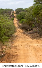 An Impala is crossing a dirt road during a safari in the savannah of South Africa.