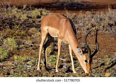 Impala eating in the Kruger National Park