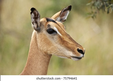 Impala ewe, aepyceros melampus, in close up portrait