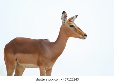 Impala ewe standing in from of white sky background