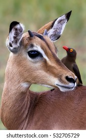 Impala eye to eye with a oxpecker in South Africa