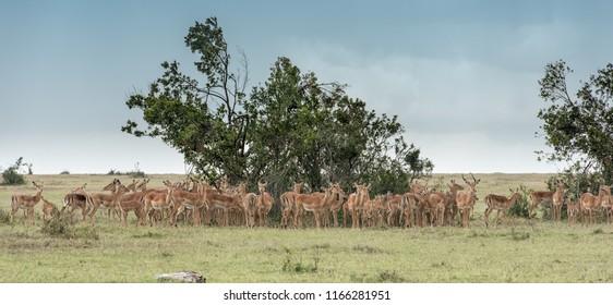 Impala - Family Gathering