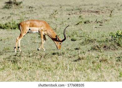 A Impala feeding grass