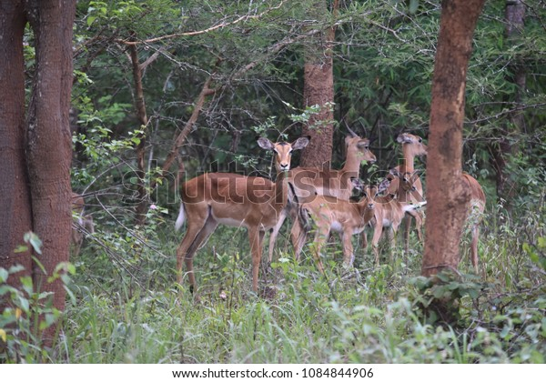 Impala females and baby