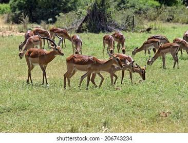 Impala gazelle in their natural habitat . Kenya .