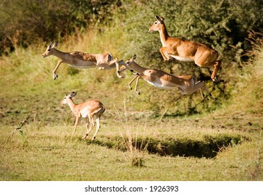 impala leaping for safety