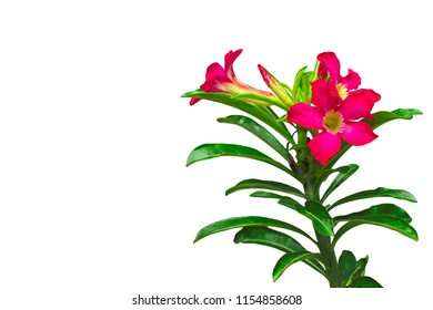 Impala Lily or Pink Bignonia isolated on white background