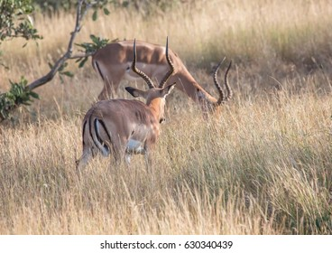 Impala male at the Kruger National Park, South Africa
