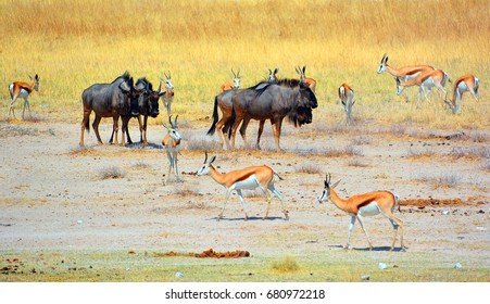 The impala is a medium-sized antelope found in eastern and southern Africa. The sole member of the genus Aepyceros and wildebeest or wildebai (Etosha National Park) Namibia Africa