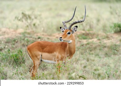 Impala in the National Reserve of Africa, Kenya