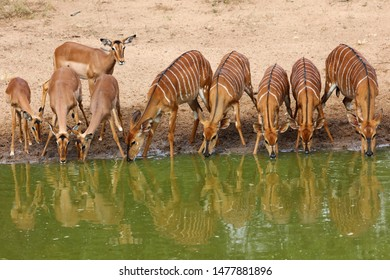 Impala and nyala antelope drinking water from calm water with sand in background