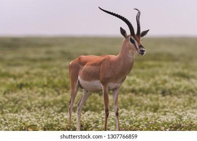 Impala on the open Serengeti Savannah