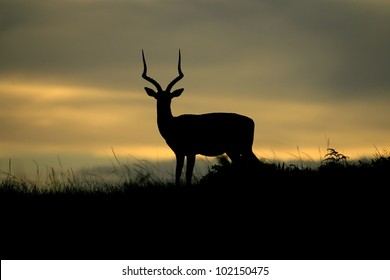 Impala ram at sunset in this silhouette from eastern cape,south africa