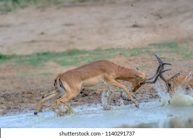 IMPALA RAMS (Aepyceros melampus) engage in robust sparring during the rut. Mkuzi, South Africa