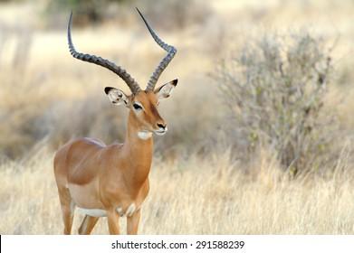 Impala in savanna. National Reserved. South Africa, Kenya