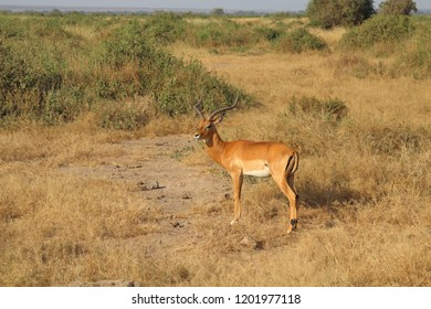 Impala in the savannah of Amboseli