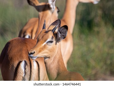 An Impala in the savannah grass of the Bwabwata Nationalpark at Namibia during summer