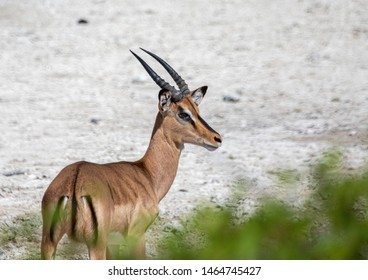 An Impala in the savannah grass of the Etosha National park in northern Namibia during summer