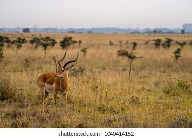Impala in the savannah scrub of Nairobi Park in Kenya