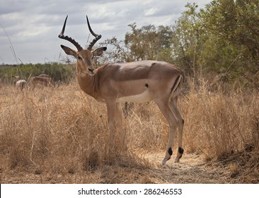 Impala in a savannah spot in Kruger National Park.