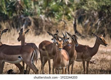 impala south africa wildlife kruger national park