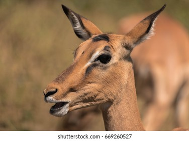 An impala stares into the lens chewing away on the fresh grass that surrounds it