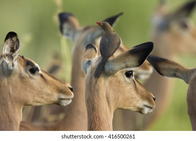 Impala with yellow-billed oxpecker on top. Kruger National Park. South Africa.