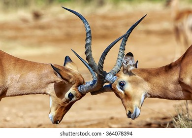 impalas fighting at samburu