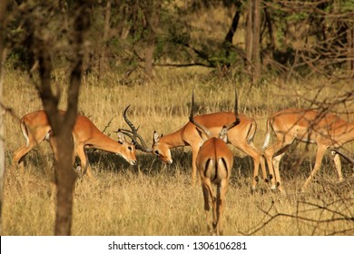 Impalas fighting, Serengeti National Park, Tanzania
