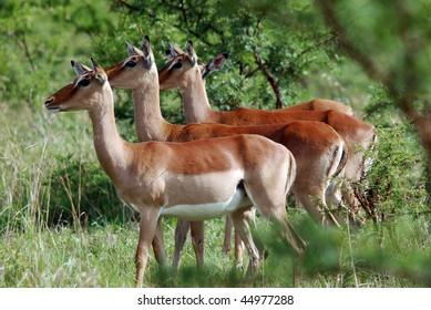 Impalas Hluhluwe imfolozi park South-Africa