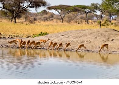 Impalas in a row along a waterhole in Tarangire Park in Tanzania