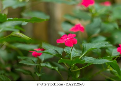 Impatiens balsamina, commonly known as balsam, garden balsam, rose balsam, touch-me-not or spotted snapweed, is a species of plant native to India and Myanmar.