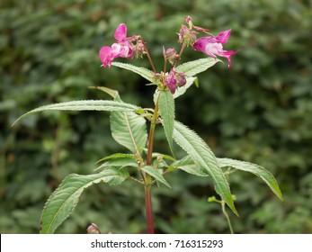 Impatiens glandulifera - Policeman's Helmet plant, Bobby Tops, Himalayan Balsam -  invasive asian plant species