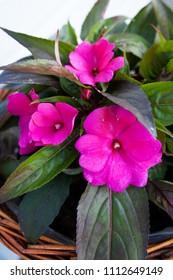 Impatiens hawkeri New Guinea Flower